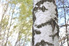 桦树树干吠声的纹理在桦树树丛特写镜头的 库存照片