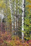 桦树树干和五颜六色的叶子 库存照片
