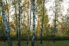 桦树树干在秋季之前 库存图片