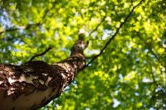 桦树树干在绿色叶子冠背景的  免版税库存照片
