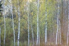桦树树干织地不很细背景样式 免版税库存图片
