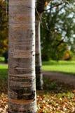 桦树树干晴朗的秋天天桔子叶子 图库摄影