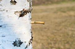 桦树树汁 免版税图库摄影