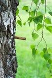 桦树树汁 库存图片