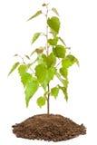 年轻桦树树苗 免版税库存照片