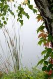 桦树树 免版税库存图片
