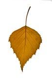 桦树棕色叶子 免版税库存照片