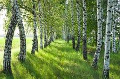 桦树森林。 桦树树丛。 白桦树干。 库存图片