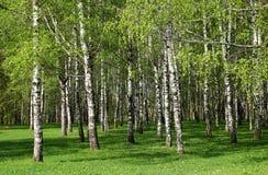 桦树森林。 图库摄影