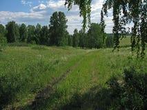 桦树森林。 免版税库存照片