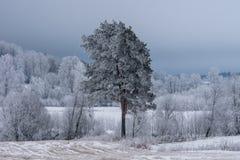 桦树森林和用霜和冰盖的一棵唯一杉树 库存照片