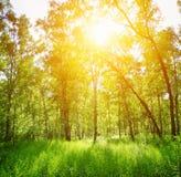 桦树森林在一个晴天 绿色森林在夏天 免版税库存照片