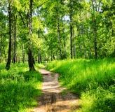 桦树森林在一个晴天 绿色森林在夏天 免版税图库摄影