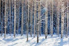 年轻桦树森林在冬天在一个晴天 免版税库存照片