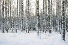 桦树森林在冬天 免版税库存照片