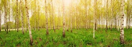 桦树森林在早晨 免版税库存图片