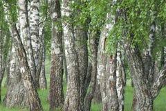 桦树森林在春天 库存图片