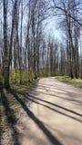 桦树森林在晴天 免版税库存图片