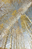 桦树森林在秋天,减速火箭神色 库存照片