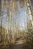 桦树森林在秋天,葡萄酒神色 免版税库存图片
