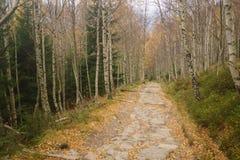 桦树森林在秋天 免版税库存照片