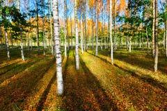 桦树森林在秋天 免版税图库摄影