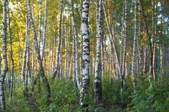 桦树森林在阳光下早晨 库存图片