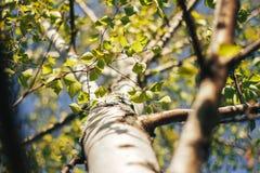 桦树森林在阳光下 免版税图库摄影