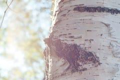 桦树森林在阳光下 免版税库存照片