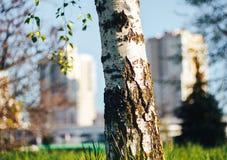桦树森林在阳光下 库存照片