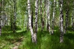 桦树森林在晴天 免版税库存照片