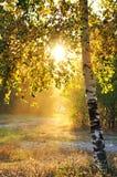 桦树森林夏天结构树 免版税库存照片