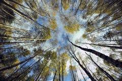 桦树森林天空 免版税库存照片