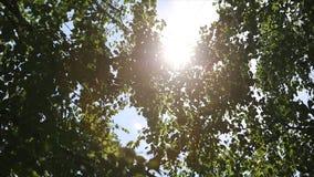 桦树森林的秋天风景,在桦树后的阳光 星期日 免版税库存图片