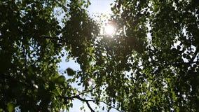 桦树森林的秋天风景,在桦树后的阳光 星期日 库存图片