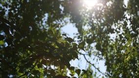 桦树森林的秋天风景,在桦树后的阳光 星期日 免版税库存照片