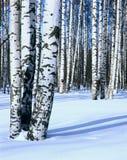 桦树森林雪垂直冬天 免版税库存照片