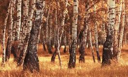 桦树森林,当秋天季节时 库存图片