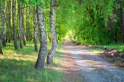 桦树森林,森林公路,夏天 免版税库存照片