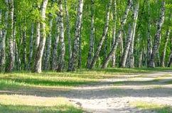 桦树森林,森林公路,夏天 库存照片