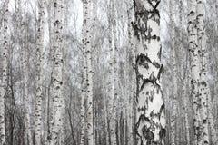 桦树森林,许多美丽的桦树在早期的春天 图库摄影