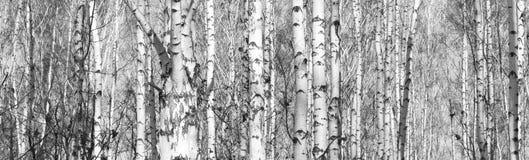 桦树森林,黑白的照片 库存照片