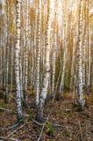 桦树森林晴天 免版税库存图片