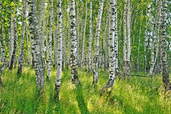 桦树森林 库存照片