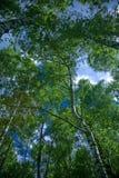 桦树森林 库存图片