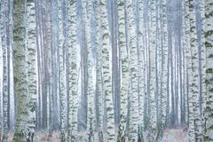 冻桦树森林 免版税库存图片