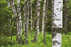 桦树森林 免版税库存图片