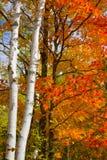 桦树槭树10月树干 免版税库存图片