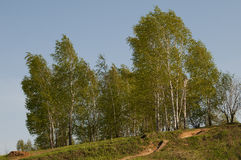 桦树横向 免版税库存照片