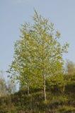 桦树横向 图库摄影